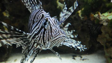 Taming the lionfish: Florida fights back against invasive