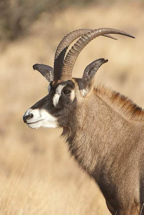 Trophy Hunting the Roan Antelope in South Africa - ASH