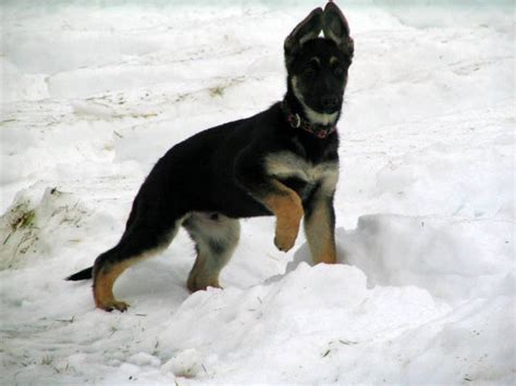 Akc German Shepherd puppies FOR SALE ADOPTION from Anson