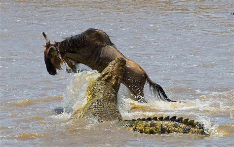 Trophy Hunting the Crocodile in South Africa - ASH Adventures