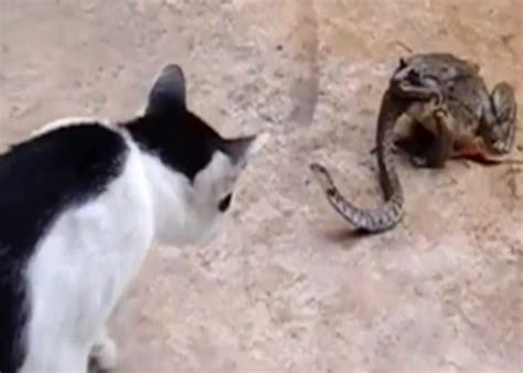 Bizarre Footage Shows Cat Fight Snake That Is Being Eaten